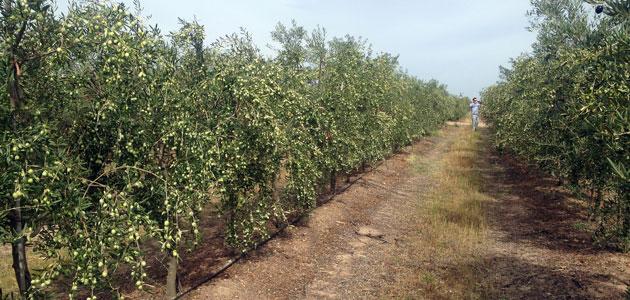 Todolivo, empresa expositora en Expoliva 2017, aplica su sistema de olivar en seto al verdeo