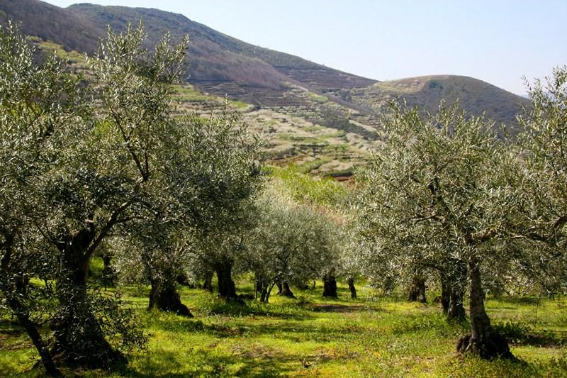 La superficie de olivar en Andalucía crece más de 80.000 hectáreas en una década y supera ya el mill