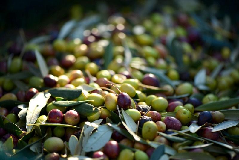 Las plantas de adecuación y tratamiento postcosecha de aceituna contribuyen a conservar la calidad d