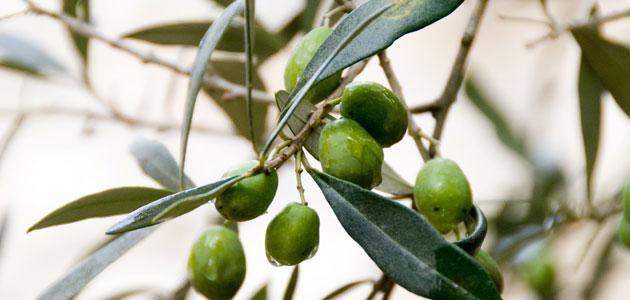 Las cooperativas oleícolas solicitan al MAPA la incorporación del aceite de oliva en las medidas de