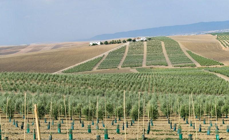 Todolivo revoluciona el mundo de la olivicultura con I-15P, una nueva variedad ideal para el cultivo
