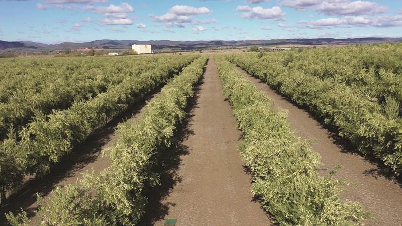El olivar en seto supera al olivar superintensivo en sostenibilidad, productividad y rentabilidad ma